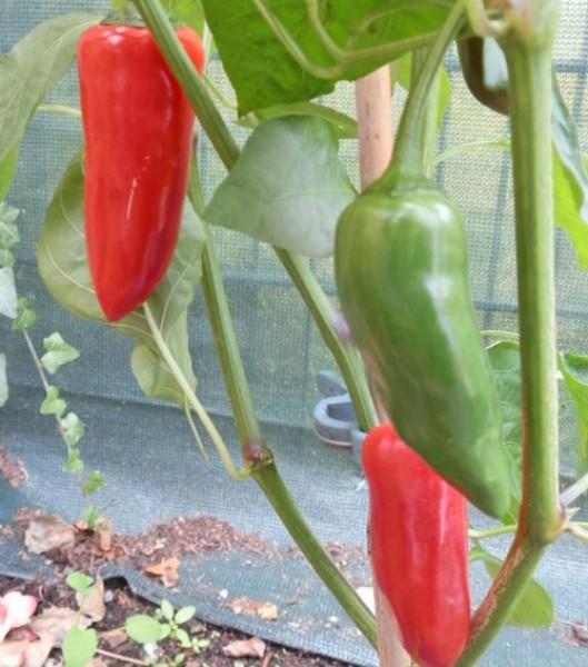 Gorria Chili Seeds