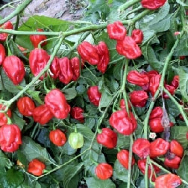 7 Pot Burgundy Chili Seeds