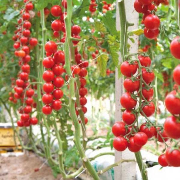 Terminato Ciliegia Tomato Seeds
