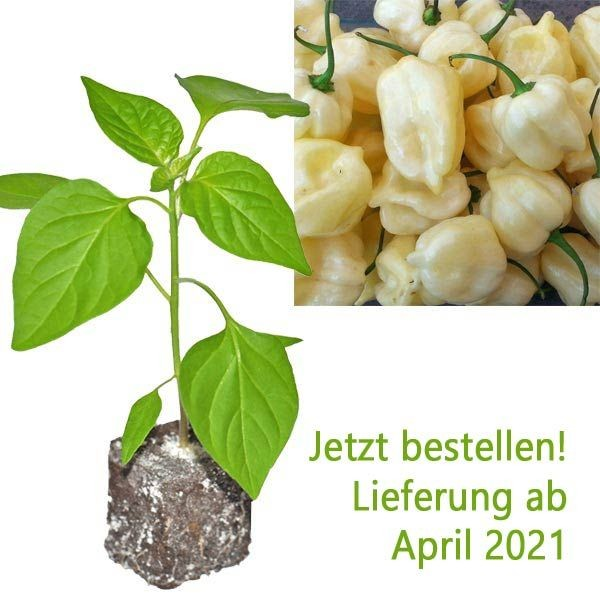 Organic Habanero Big White Chili Plant