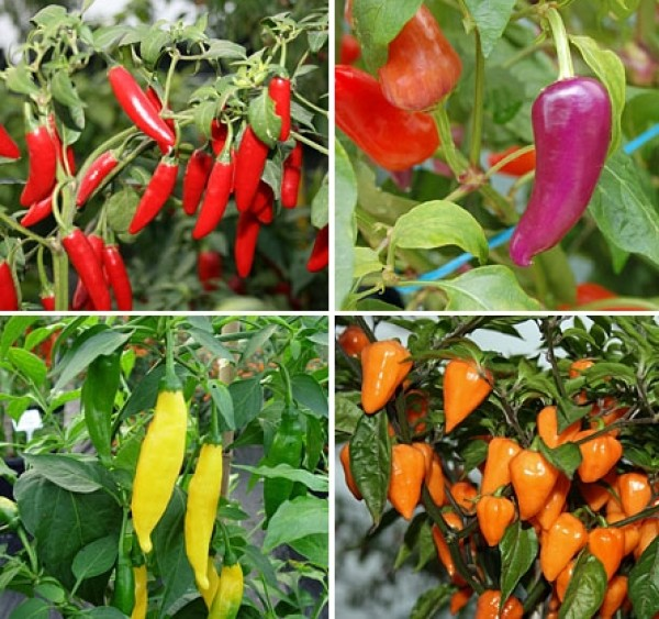 Which varieties of chili should I cultivate?