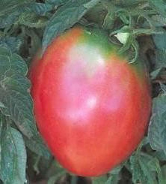 Oxheart Pink Tomato Seeds