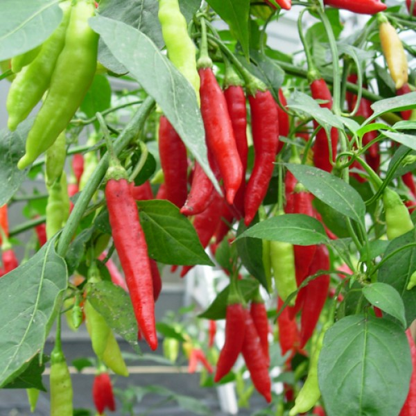 Birgit`s Locoto Chili Seeds