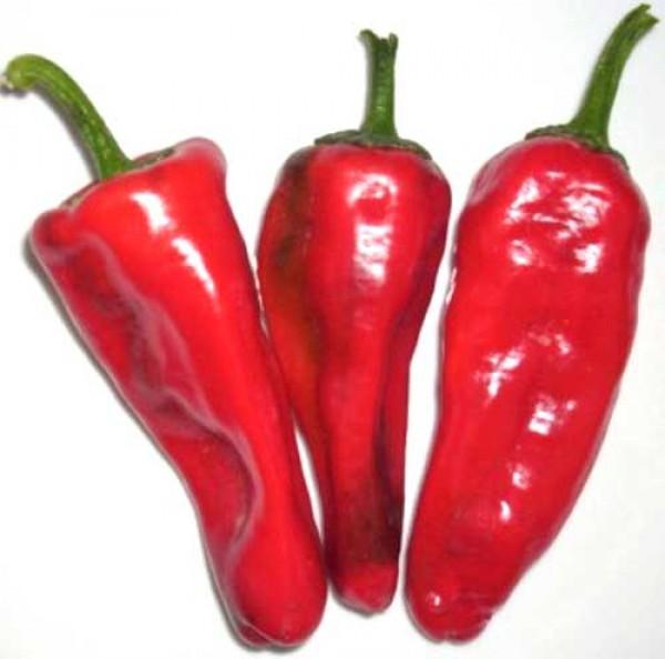 Accord Chili Seeds
