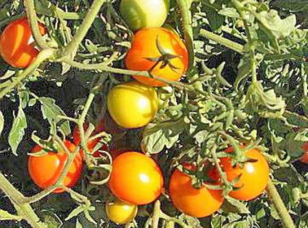 Sun Drop Tomato Seeds