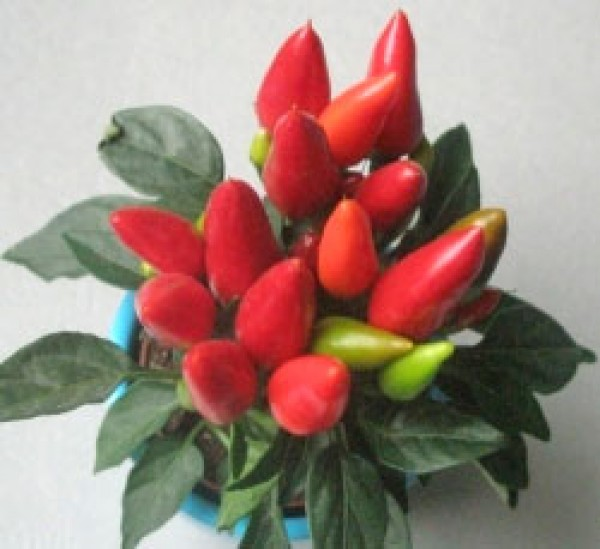 Maya Flame Red Chili Seeds