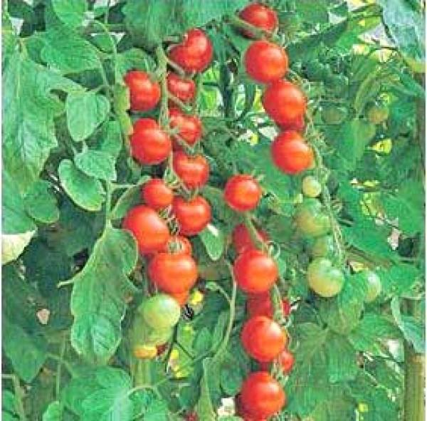 Gardeners Delight Tomato Seeds
