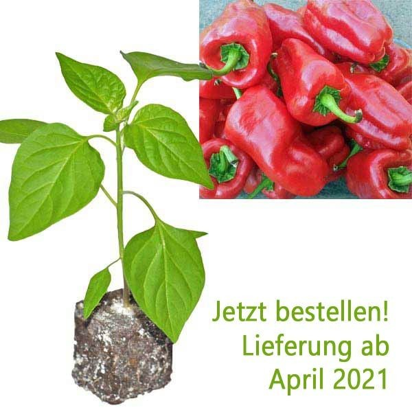 Organic Letschauer Schoten Pfeffer Chili Plant