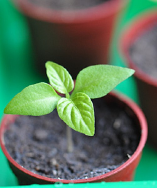 What is needed for chili cultivation?