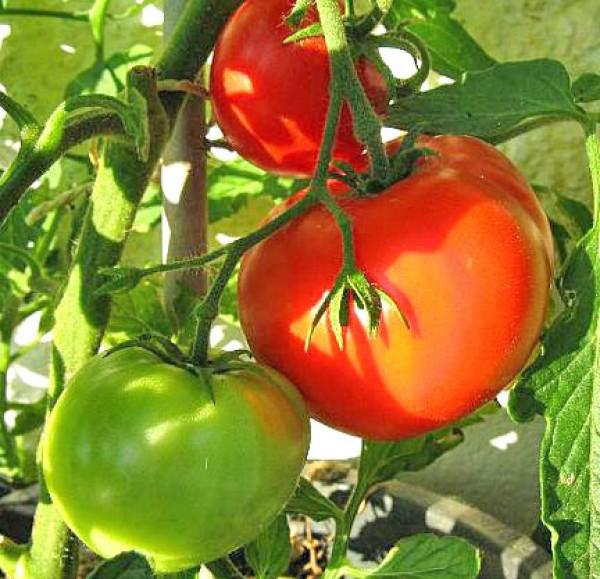 Jubileum Tomato Seeds