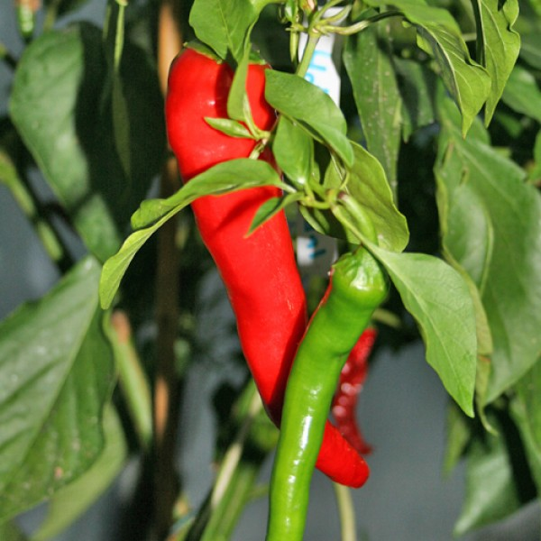 Hot Portugal Chili Seeds