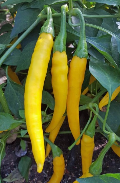 Dutch Yellow Chili Seeds