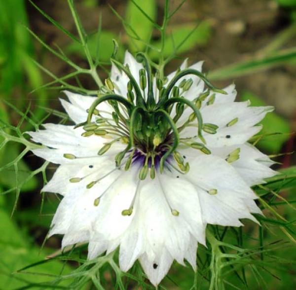 Nigella White Seeds
