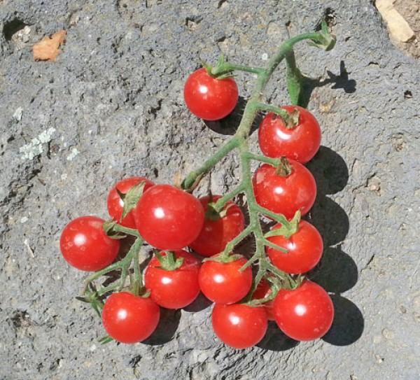 Ugina Tomato Seeds