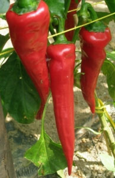 Cyklon Chili Seeds