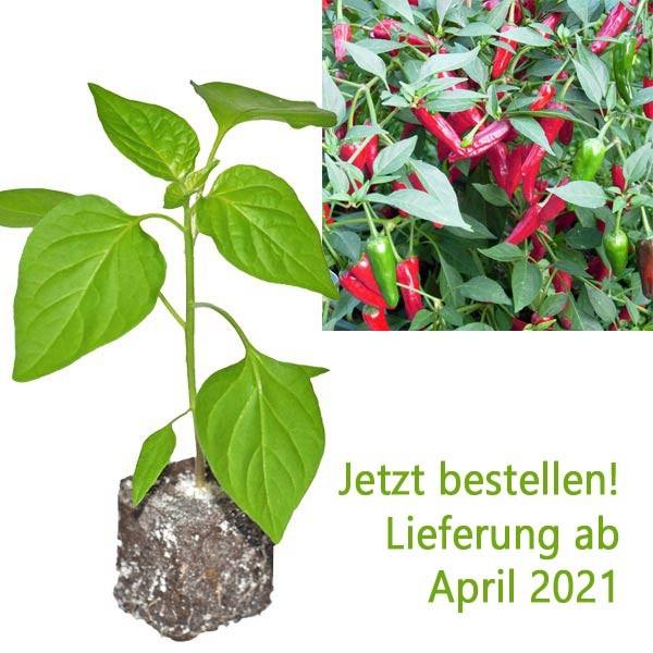 Organic Apache Chili Plant