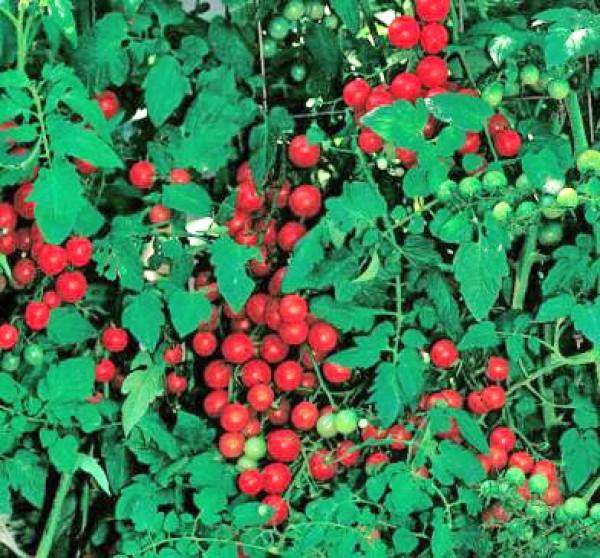 Cherry Sweetie Tomato Seeds