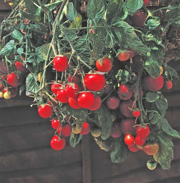 Garden Pearl Tomato Seeds