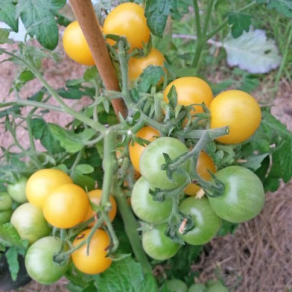 Window Box Yellow Tomato Seeds