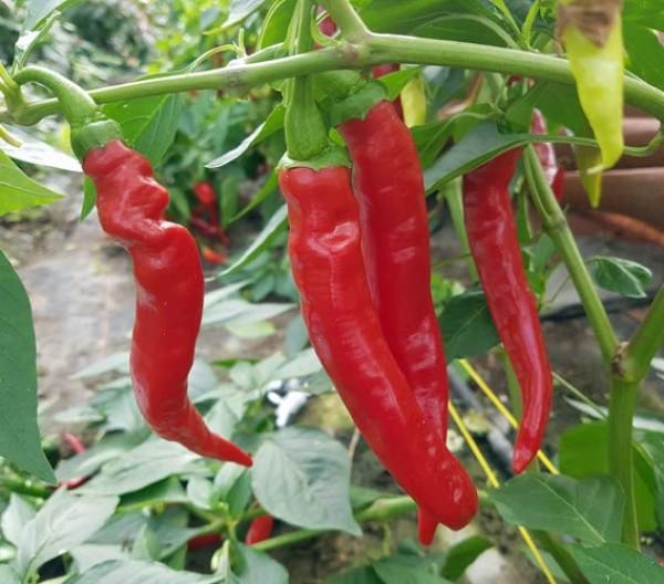 Aci Biber Chili Seeds