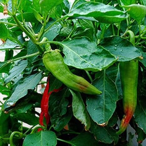 Big Jim Chili Seeds