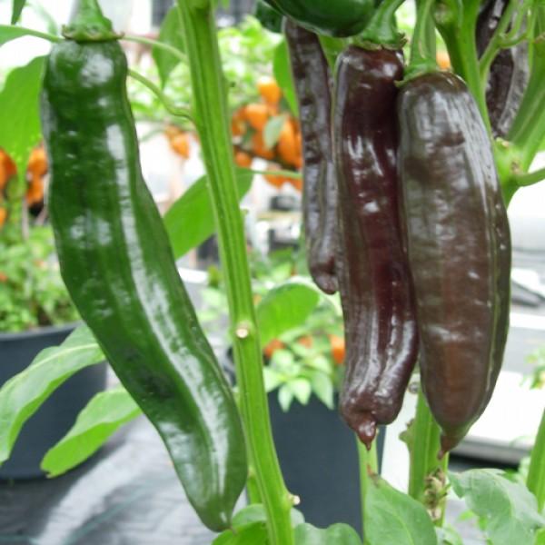 Aji Panca Chili Seeds