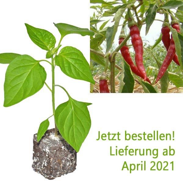 Organic Cayenne Chili Plant
