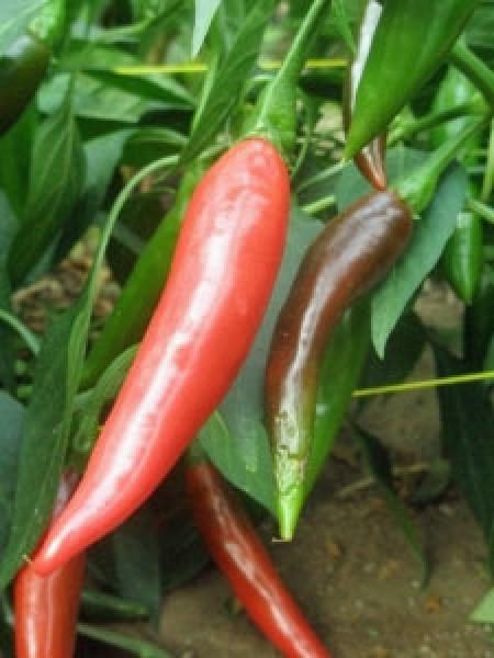 Puya / Pulla Chili Seeds