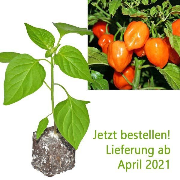Organic Habanero Orange Chili Plant