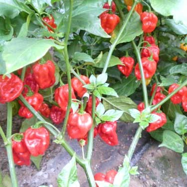 Mighty Hornet Red Chili Seeds
