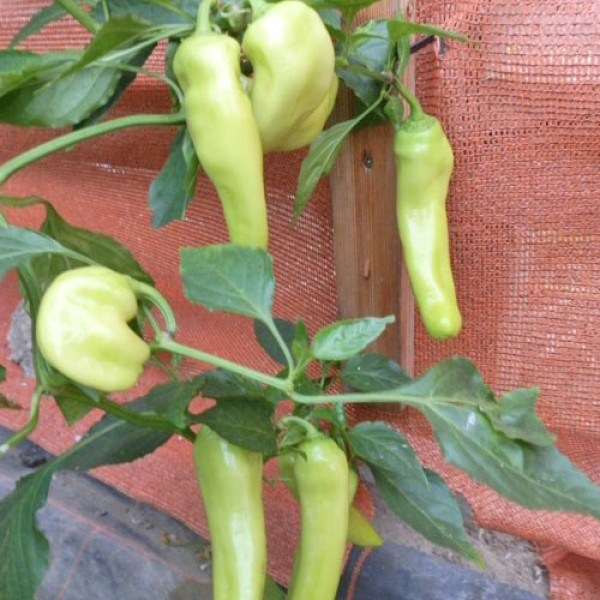 Hungarian Yellow Wax Sweet Chili Seeds