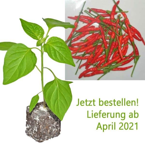 Organic Burning Bush Chili Plant