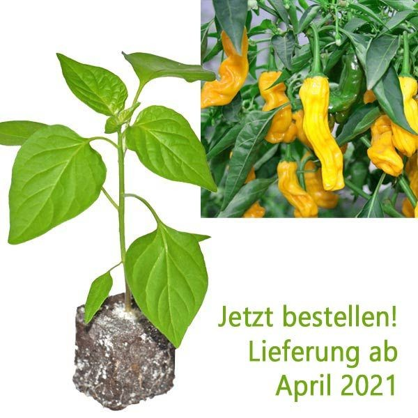 Organic Penis Pepper Yellow Chili Plant