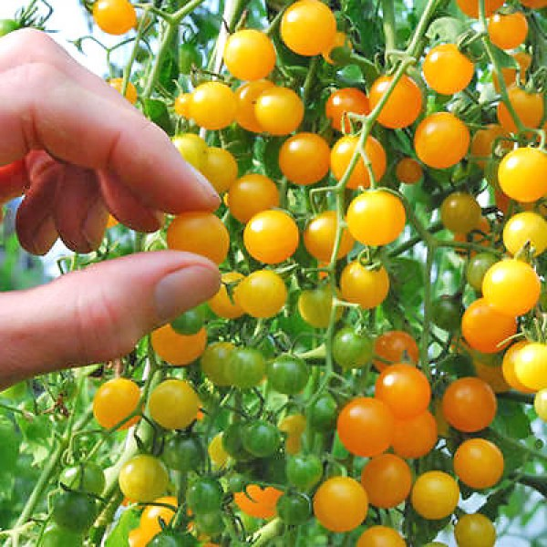 Currant Gold Rush Tomato Seeds