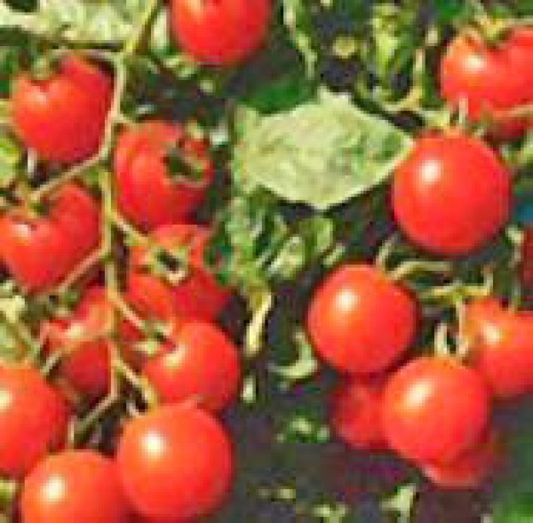 Small Red Cherry Tomato Seeds