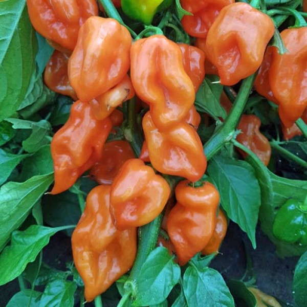Habanero Mexican Orange Chili Seeds