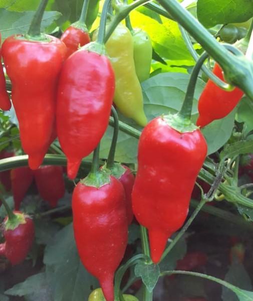 Aji Benito Chili Seeds
