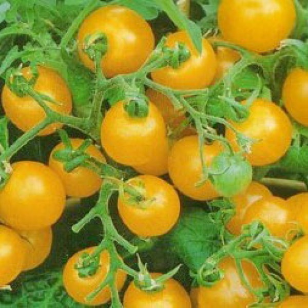 Mini Gold Tomato Seeds