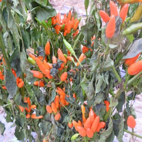 Stromboli Chili Seeds