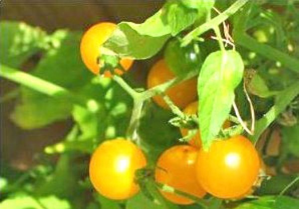 Gold Nugget Yellow Cherry Tomato Seeds
