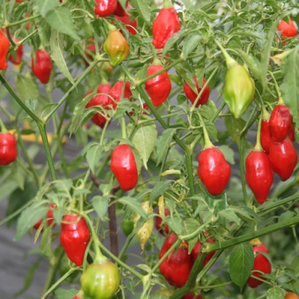 Chili pflanzen bestellen