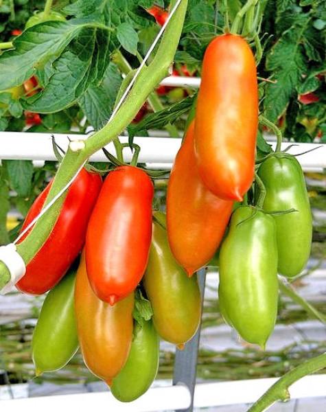 Napoli Tomato Seeds