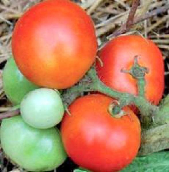 Czech Bush Tomato Seeds