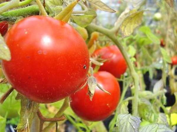 Heinz 1350 Tomato Seeds