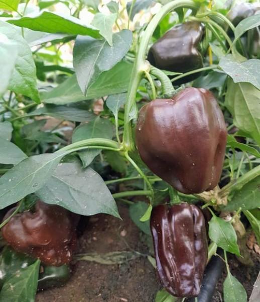 Chile de Onza Chili Seeds