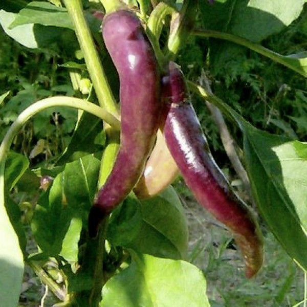 Cayenne Purple Chili Seeds