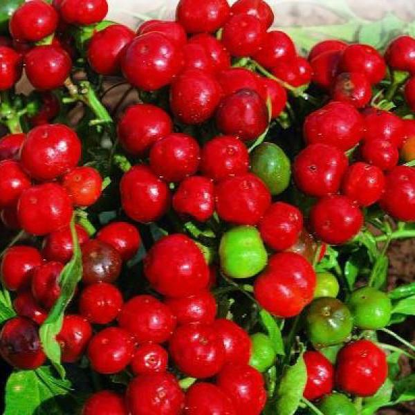 Ciliegia Piccante Chili Seeds