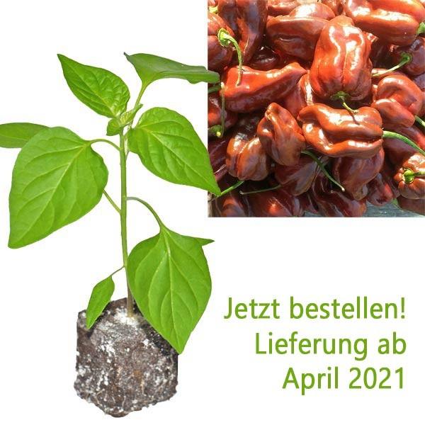 Organic Chocolate Habanero Chili Plant