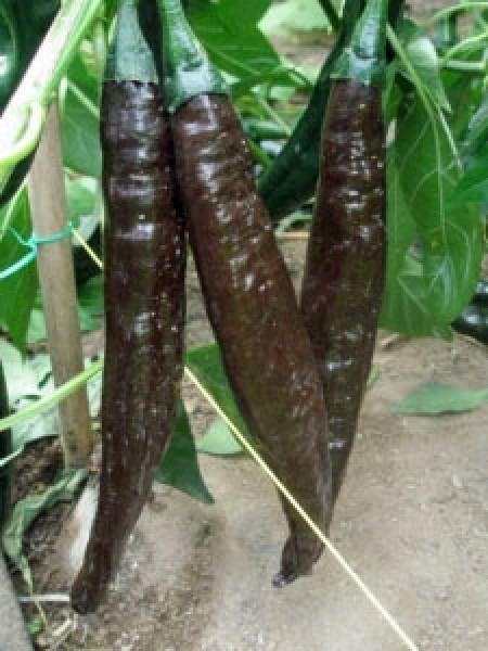 Pasilla Bajio Chili Seeds