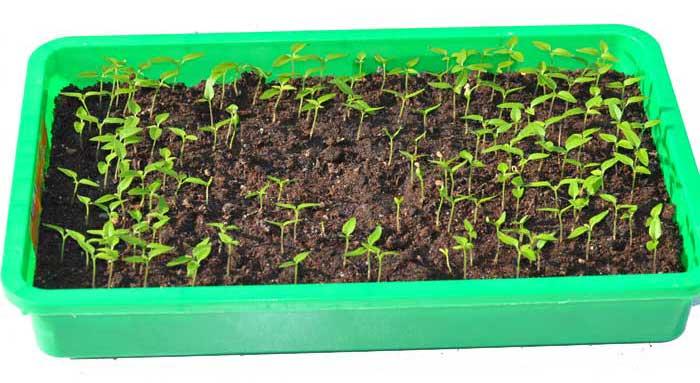 transplanting-15332b5e0cb2b3